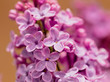 Flowers on a branch of lilac in nature