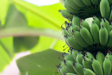 Banana Tree With Unripe Raw Gr...
