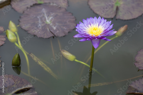 Foto op Canvas Lotusbloem Beautiful violet lotus