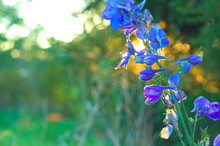 Flower Of Delphinium