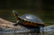 A Florida Red-bellied Cooter T...