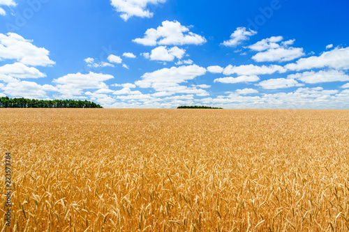 Deurstickers Cultuur Field of the ripe yellow wheat under blue sky and clouds