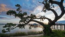 Oak Tree With Pier Back Bay Bi...