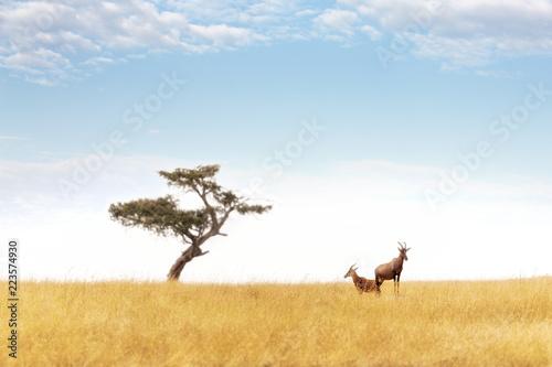 Poster Cerf Topi pair and acacia tree in the Masai Mara