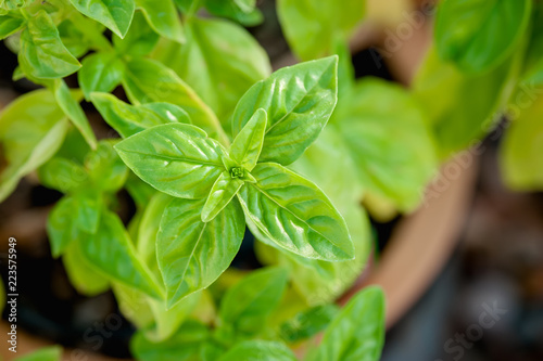 Fotografie, Obraz  Closeup view of basil growing in a terra cotta pot in a garden.