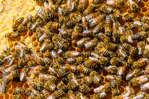 Bees on the honeycomb. Apicultural concept. Closeup