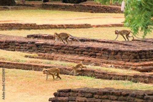 Fotografie, Obraz  Wild monkey at Sigiriya in Sri Lanka
