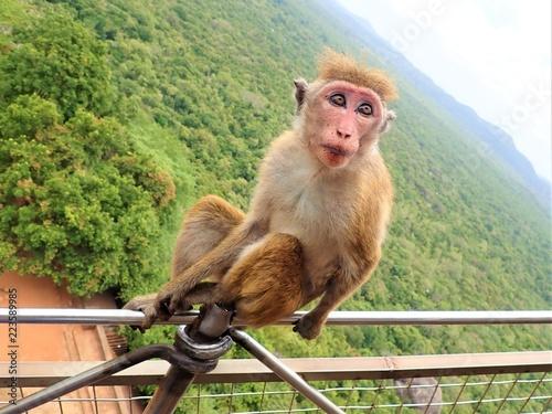 Fotografía  Wild monkey at Sigiriya rock in Sri Lanka