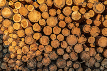 stos ściętych drzew sosnowych