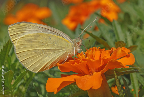 close up of yellow butterfly feedinc nectar on marigold flower