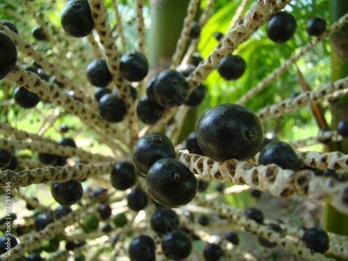 Photo Bunch of ripe açai still on the tree
