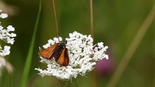 Small Skipper ( Thymelicus Sylvestris) Butterfly On White Yarrow