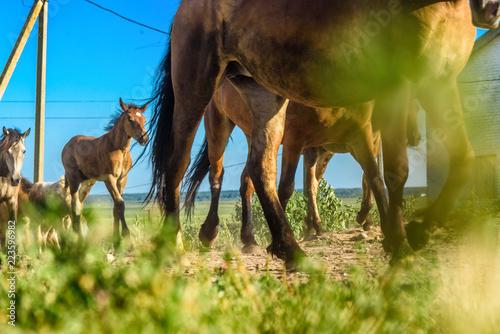 Fotografie, Obraz  herd of horses on the farm goes