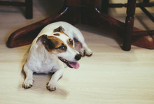 Purebred Female Jack Russell T...