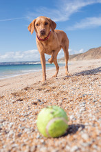 A Happy, Yellow Labrador Retriever Dog Standing On A Sandy Beach With One Leg Raised In Anticipation As It Waits For Its Ball To Be Thrown By Its Owner.