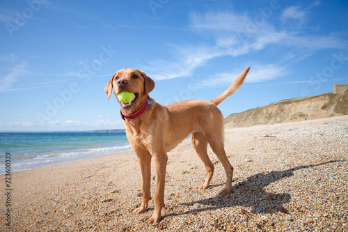 Cuadros en Lienzo A happy and healthy yellow Labrador Retriever dog standing in profile on a deserted sandy beach with a tennis ball in its mouth whilst on summer vacation