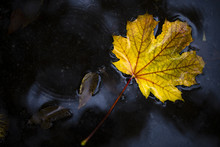 High Angle View Of Maple Leaf Fallen In Puddle During Autumn