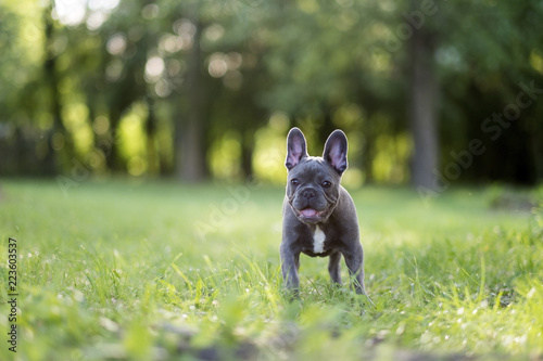 Close-up portrait of French Bulldog standing on grassy field at park