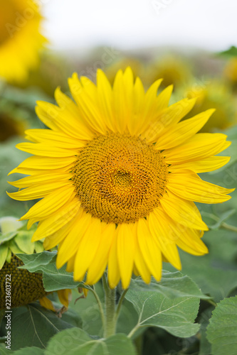Close-up of sunflower growing on field