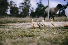 Ducklings Walking In Grassy Field