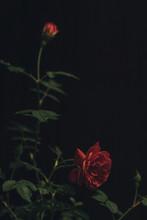Close-up Of Roses Growing Agai...