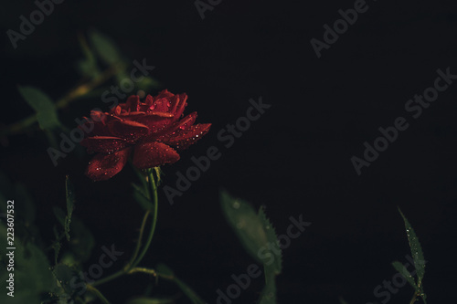 Close-up of red rose growing against black background