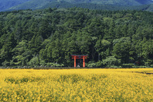 Oilseed Rape Growing By Hakone...