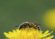 Close Up Of Honey Bee Pollinating Yellow Flower