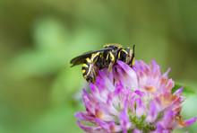 Close Up Of Honey Bee Pollinating Purple Flower