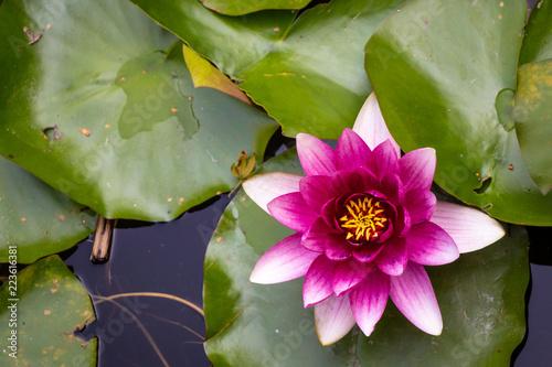 Foto op Canvas Lotusbloem Sacred Lotus in Porto Botanical Garden