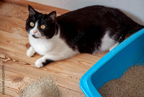 Canvas Print Cat toilet blue and black and white kitten on the wooden floor