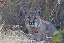 Bobcat At California Mountains