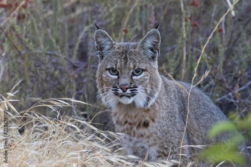 Naklejka premium Bobcat w górach Kalifornii