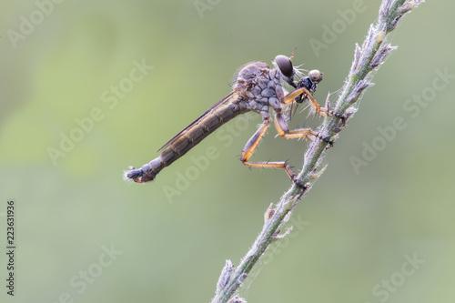 Photo Mosca ladrona comiendo un insecto