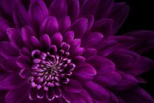 Closeup Of Pink Mum Purple Hig...