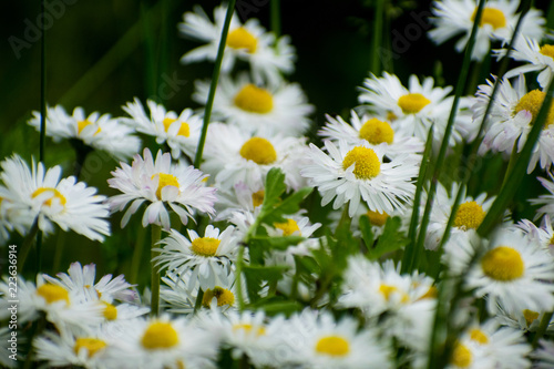 Foto op Canvas Madeliefjes White daisy on green field. Daisy flower - wild chamomile. White daisies in the garden. Bellis perennis.