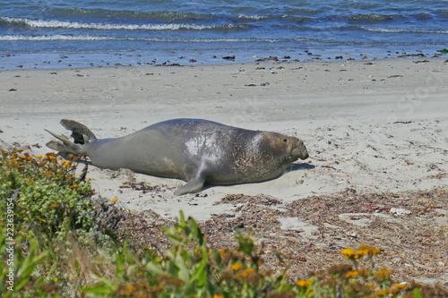 Photo  Full body Elephant Seal