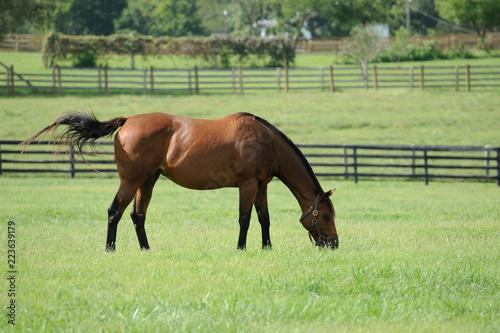 Thoroughbred Horse on a Kentucky Horse Farm