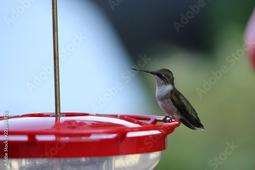Fotografie, Tablou hummingbird on a feeder