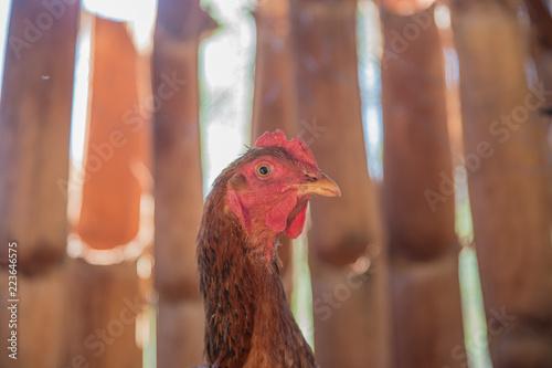 Foto op Canvas Kip Chicken farm