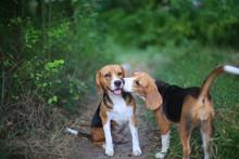 An Elder Beagle Dog Being Kiss...
