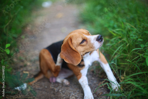 Photo Beagle dog scratching body on green grass outdoor.