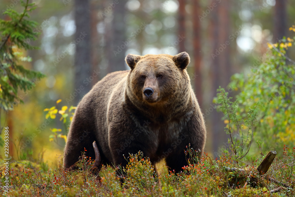 Fototapeta Big brown bear in a forest