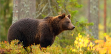 Side View Of A Brown Bear In A...