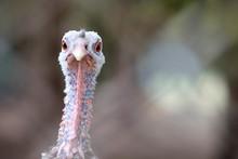 Turkey Close-up Head