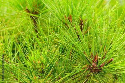 Fototapeta The change : Pine leaf on the tree when the leaves change color in Korea, Leaves change color obraz na płótnie