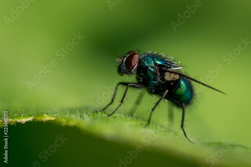 Fotobehang Macrofotografie Green fly on leaf