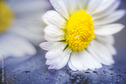 Foto op Canvas Madeliefjes Daisy flower reflection