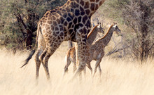 Adult Giraffe With Two Young, ...