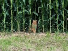Cat In Fort Of Cornfield